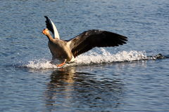 Goose landing on water Stock Photos