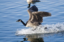 Goose Landing in Water Stock Image