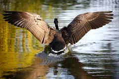 Goose landing in water Stock Photography