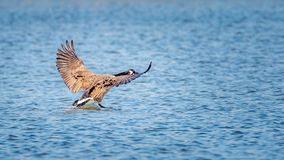 A goose landing on the water Royalty Free Stock Image