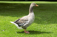 Goose on the lawn Royalty Free Stock Photography
