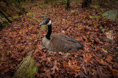 Goose laying eggs in the nest. Forest bird laying eggs in the nest Stock Photo