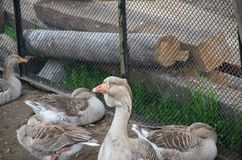 Goose leader and his females locked up royalty free stock images