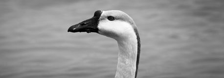 A goose Stock Photo