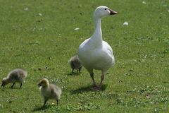 Goose on a leisurely walk along with goslings. This picture shows you a white mother goose taking a leisurely walk, along with three of her babies (goslings Royalty Free Stock Image