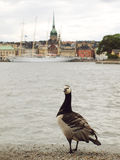 A goose looking at the city Stock Images