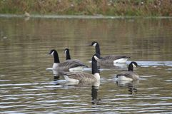 Goose , looking nice, lovely bird stock photo