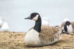 Goose on the Loose Royalty Free Stock Photo
