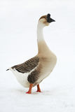 Goose on  loose snow Royalty Free Stock Photography