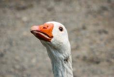 Goose Love ~ Stock Photo