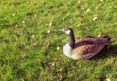 Goose lying in grass Stock Photography