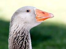 Goose Macro Royalty Free Stock Photos