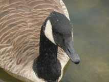 Goose of Markham. This beautiful goose was taken picture in Markham.A beautiful place were are a lot of geese living Stock Photography