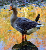 Goose me Royalty Free Stock Images