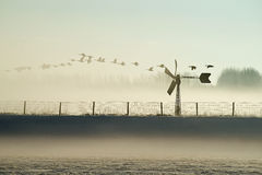 Goose in a morning foggy polder. Royalty Free Stock Photo