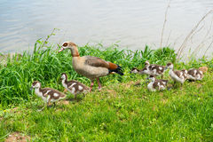 Goose mother with young goslings on a river bank Stock Images