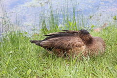 Goose napping Royalty Free Stock Image