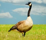 Goose Blue Sky Royalty Free Stock Image