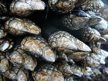 Goose neck barnacles Royalty Free Stock Images