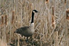Goose on the nest Stock Photo
