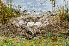 Goose Nest. Canada goose nest with eggs, in the sunlight Royalty Free Stock Photo