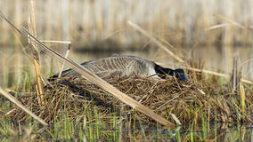 Goose Nest Stock Photo
