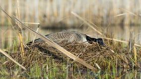 Goose Nest stock photo
