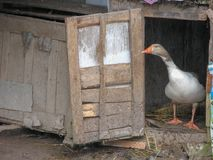 A goose in nest, Iran, Gilan, Rasht royalty free stock image