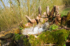 Goose nest in pollard willow. Goose nest wit eggs and feathers in pollard willow Royalty Free Stock Photography