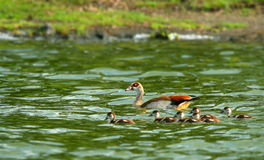 Goose with new borne family Royalty Free Stock Photography
