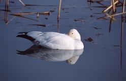 goose śnieg Obrazy Royalty Free