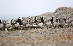 Goose nursery in the arctic wilderness Stock Image