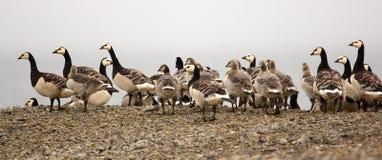 Goose nursery in the arctic wilderness Stock Photo
