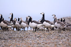 Goose nursery in the arctic wilderness Stock Image