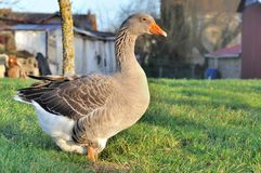 Goose Stock Photography