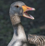 Goose with open mouth Royalty Free Stock Image