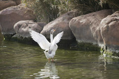 Goose. Opening goose wings in a pond Stock Photography