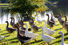 goose park Fotografia Royalty Free