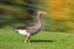 Goose in the park Stock Images