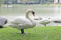 Goose in park Stock Photography
