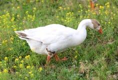 Goose on pasture Stock Image