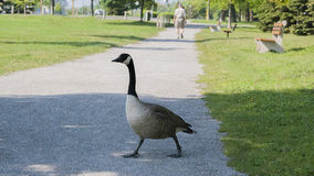 Goose on a Path. Goose walking on path in a park Royalty Free Stock Image