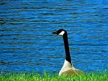 Goose Peaking Head Water Background Royalty Free Stock Photography
