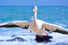 Goose the pelican coming past in a slow fly-by Royalty Free Stock Photos