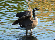 Goose. A picture of a goose flapping its wings at a pond Royalty Free Stock Photo