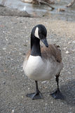 Goose by the pond. Stock Photo