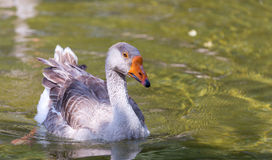 Goose in pond Stock Photos