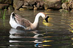Goose in pool Stock Images