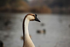 Goose Portrait Stock Photo