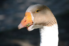 Goose Portrait. Portrait Of A White Goose Royalty Free Stock Image